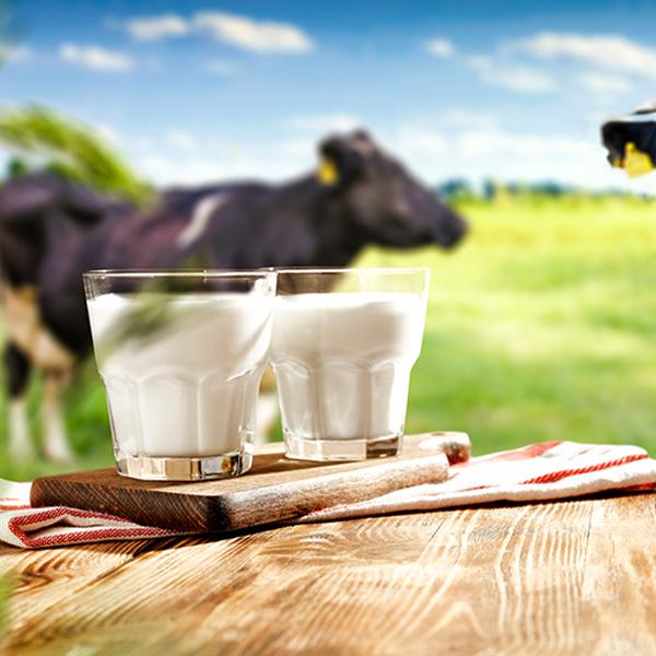 ¿Las hormonas que les inyectan a las vacas nos afecta al consumir leche?